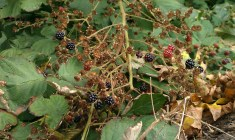 Wild blackberries grow along parts of the beach.