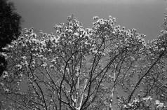Leica MP Summaron 3.5cm f3.5  ILFORD FP4