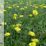 All About Dandelion: The Herb of the Month for May 2015