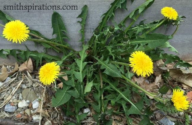 dandelion cluster