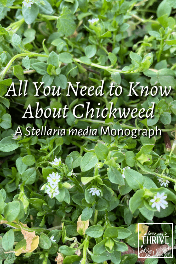 Chickweed may be a common backyard weed, but it's a little herbal powerhouse! Learn all about chickweed in this helpful article. You'll discover how to find, identify, and harvest chickweed, how to prepare it, and what kind of medicinal benefits chickweed has. via @abttrway2thrive