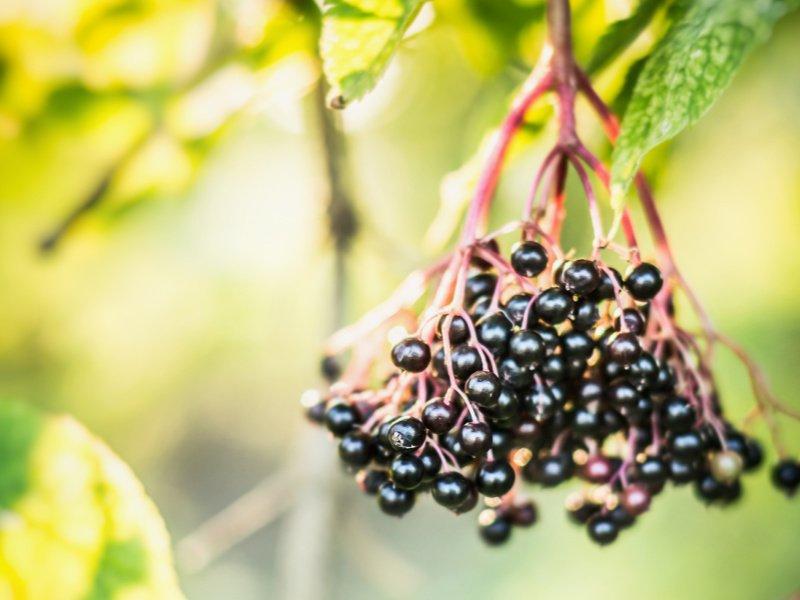 Elderberry cluster close up