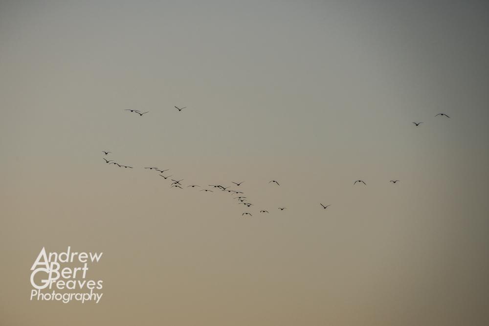 birds in flight at dusk