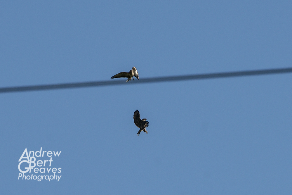 two birds of prey fighting in flight