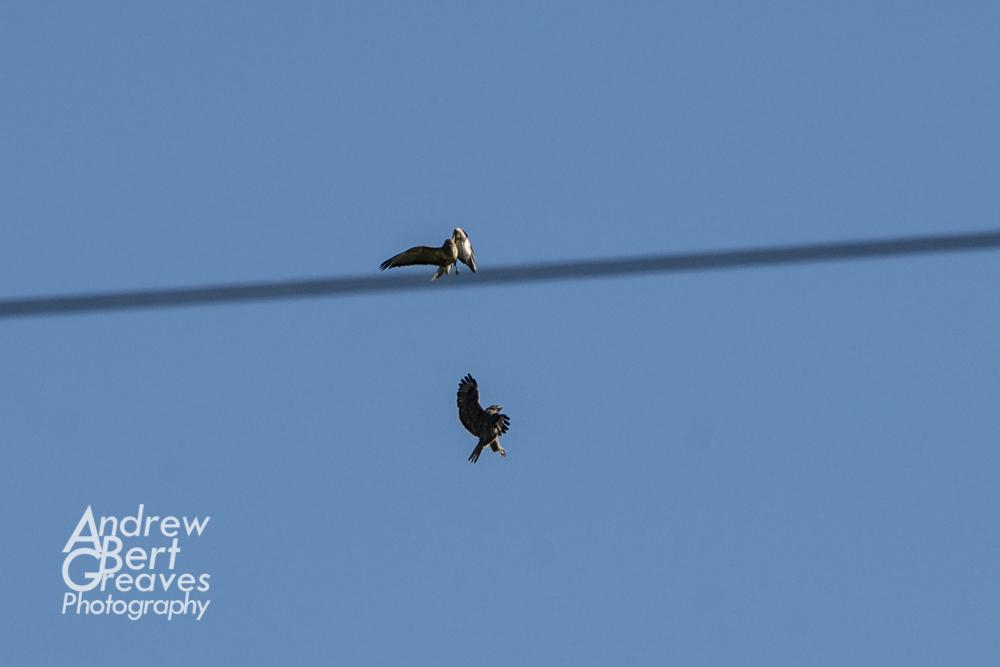 two birds of prey fighting in flight