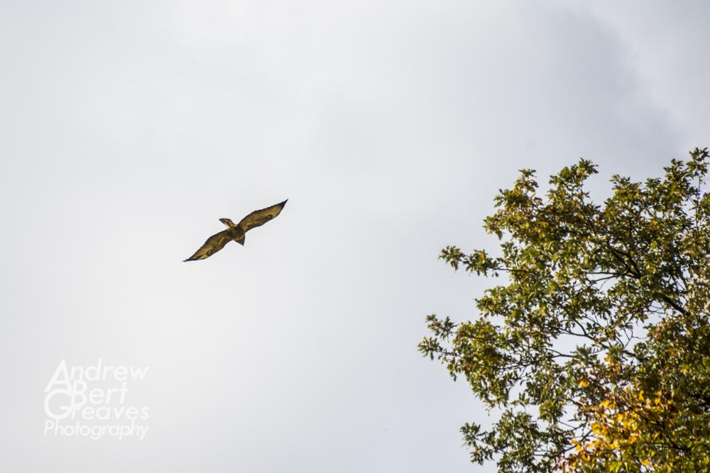 A common buzzard in flight over trees