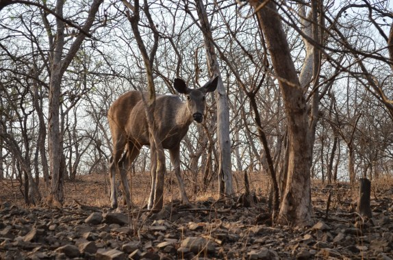 An inquisitive Sambhar deer took a pause from eating the bark of the leafless trees