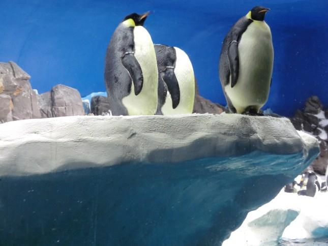 King Penguins at SeaWorld