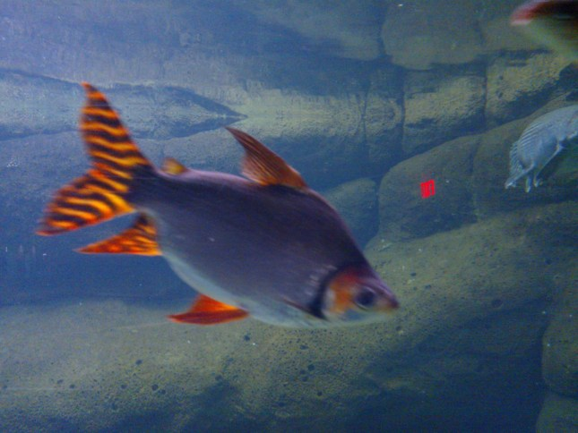 Another species of cichlid