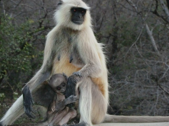 Langur mum and baby