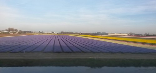 Tulip fields near Leiden in April Holland Netherlands