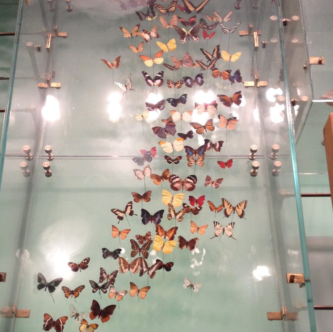 A bunch of dead butterflies displayed in a natural history museum.