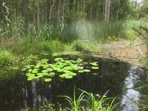 Water lilies in a bracken pond