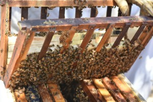 Queen Bees from all over. Italy, Hawaii and California.. breed and purchased and stored in small boxes..