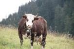 Zonder mij geen reblochon, denkt deze Abondance koe