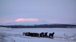Pferde und Alpenglühen