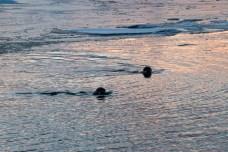 Seehunde beim Spielen