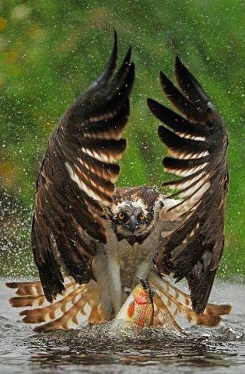 Hawk_Fishing