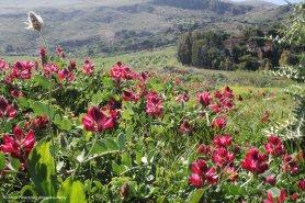 Sulla (Hedysarum coronarium) nei campi in Sicilia
