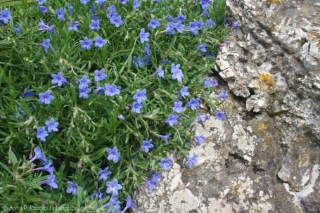 Wild blue flowers at Monte Cofano, Trapani - Sicily