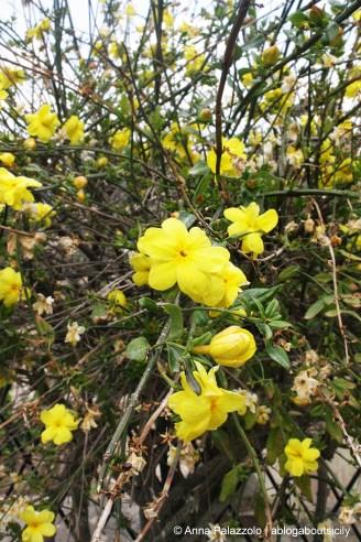 Yellow jasmine (Saint Joseph's Jasmine) in a old sicilian garden