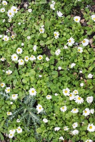Tiny daisies at Monte Cofano, Sicily