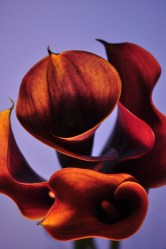 calla lilies 1