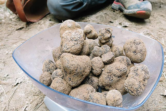 The best Catalonia black truffle hunting tour