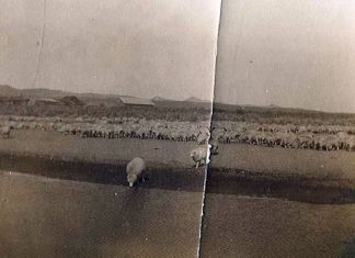 Sheep graze along the Humboldt River in this historical photo