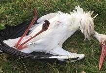 Cigüeña muerta a tiros por unos desconocido en la Reserva de la Biosfera de urdaibai