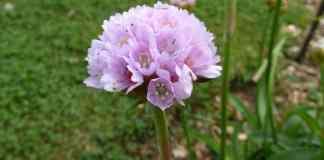 Armeria Euscandiensis. Una herbácea endémica de la Costa Vasca, con un nombre muy vasco