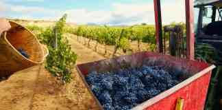 Vendimia de uva tempranillo en Lanciego, en el País Vasco provincia de Álava. Fotografía: Elena de las Heras / Alamy