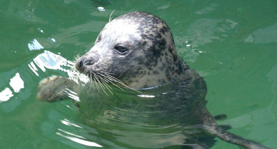 Seehund Im Aquarium Wilhelmshaven