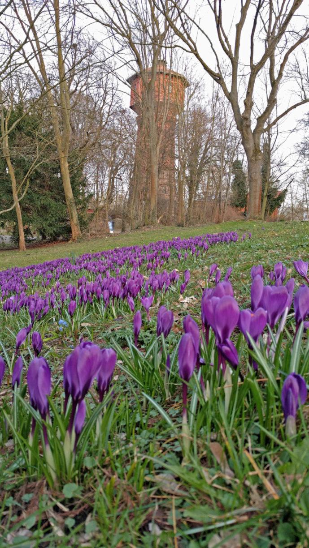 Der Wasserturm im Frühling. Die Bäume davor sind kahl, im Vordergrund eine Wiese mit lila Krokussen.