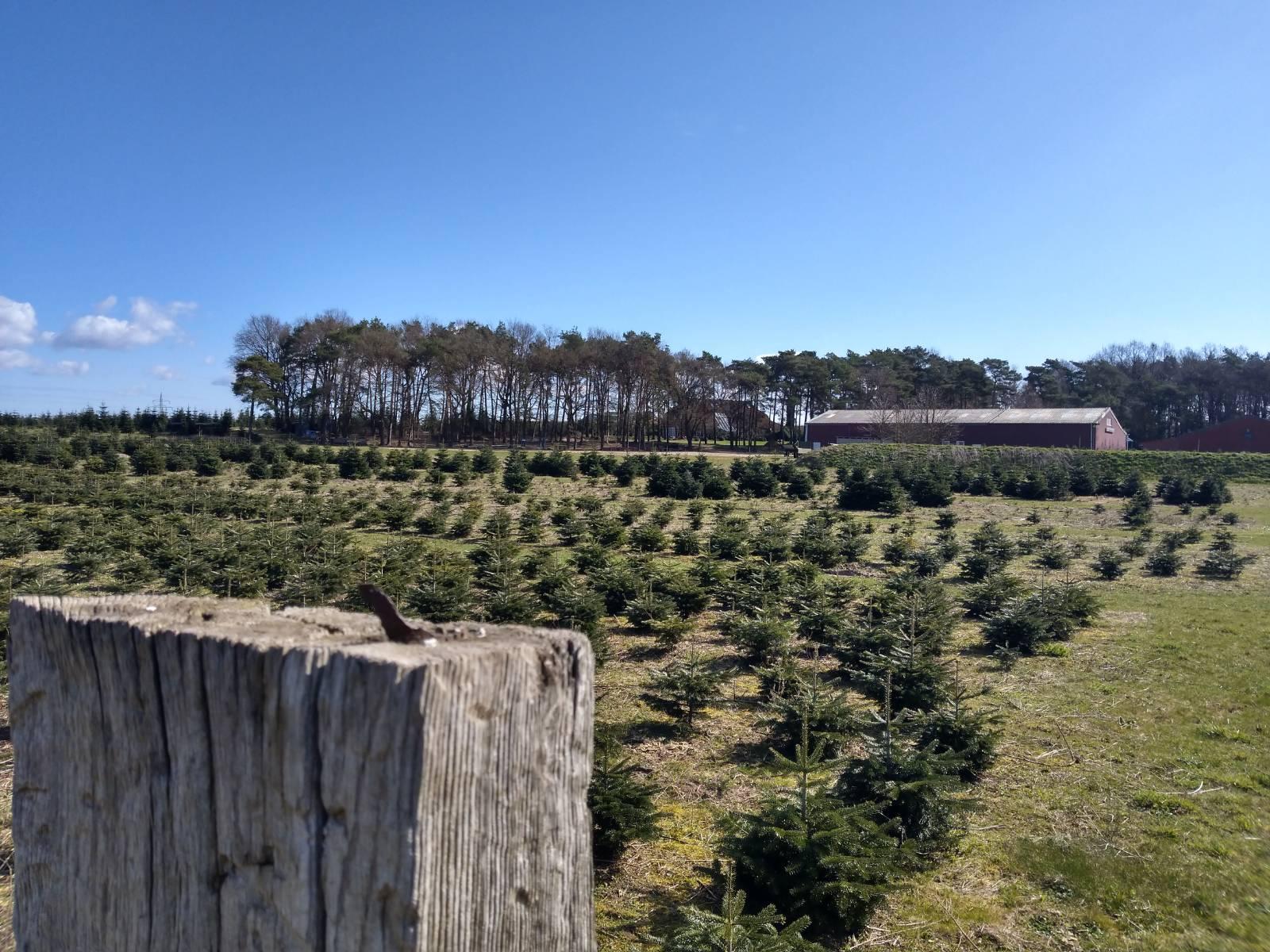 Lauter Tannenbäume für das Weihnachtsfest