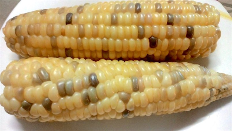 Multicolored Corn from the Philippines