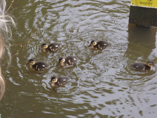 One day old ducklings at Bryngarw Country Park