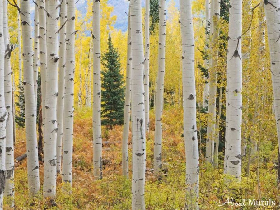 This Aspen tree wallpaper is a warm autumn birch tree wallpaper with golden yellow forest