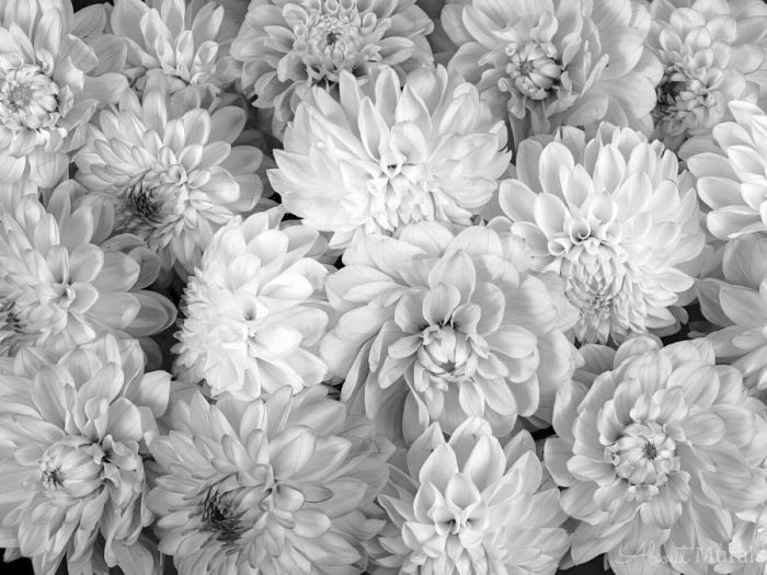 Black and White Flower Wallpaper features a wall of grey dahlia flowers. Floral wallpaper from AboutMurals.ca.