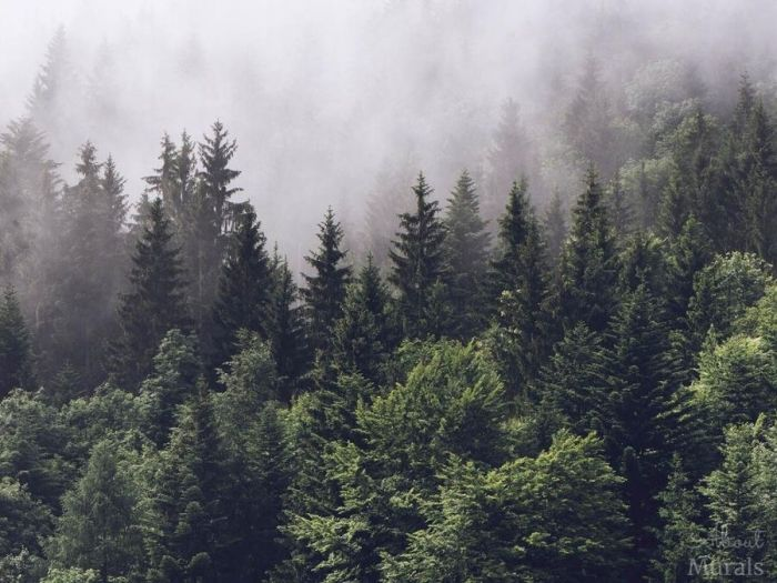 Foggy Forest Wallpaper features a grey misty fog settling over dark pine trees. Pine trees wallpaper from AboutMurals.ca.