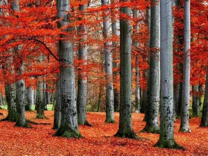 Red Forest Wallpaper creates beautiful walls with its vibrant beech trees in the fall. Autumn tree wallpaper sold by AboutMurals.ca.