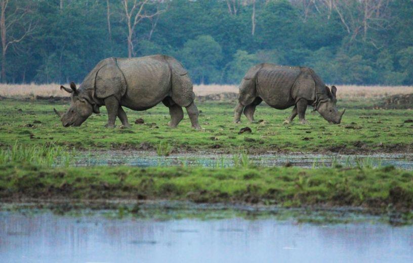 Rhinos seen at Kajiranga National Park