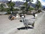 Sheep herding at Manang
