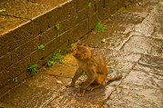 Macacque monkey
