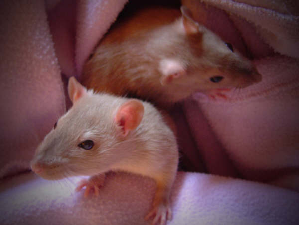 choosing your pet rats, how to choose pet rats, is it better to get babies or adult pet rats? how to choose pet rats