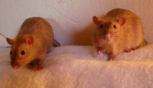 Burmese Rats