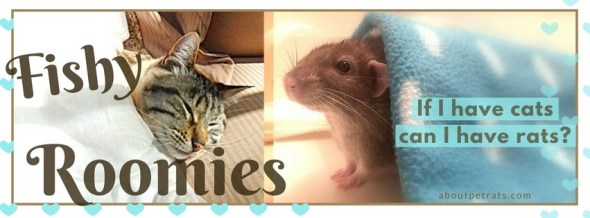 about pet rats, pet rats, pet rat, rats, rat, fancy rats, fancy rat, ratties, rattie, pet rat care, pet rat info, pet rat information, rats and cats, pet rats and cats, rats & cats, can cats get along with rats?, is it safe to have rats with cats?, is it okay to have both rats and cats?