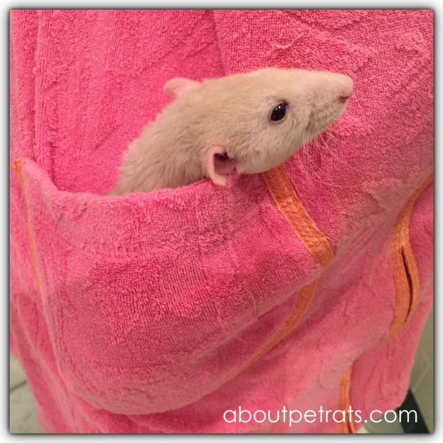 about pet rats, pet rats, pet rat, rats, rat, fancy rats, fancy rat, ratties, rattie, pet rat care, pet rat info, pet rat information, bonding with pet rats, shy pet rats, my pet rats are shy, how to bond with new pet rats, how to make pet rats less scared