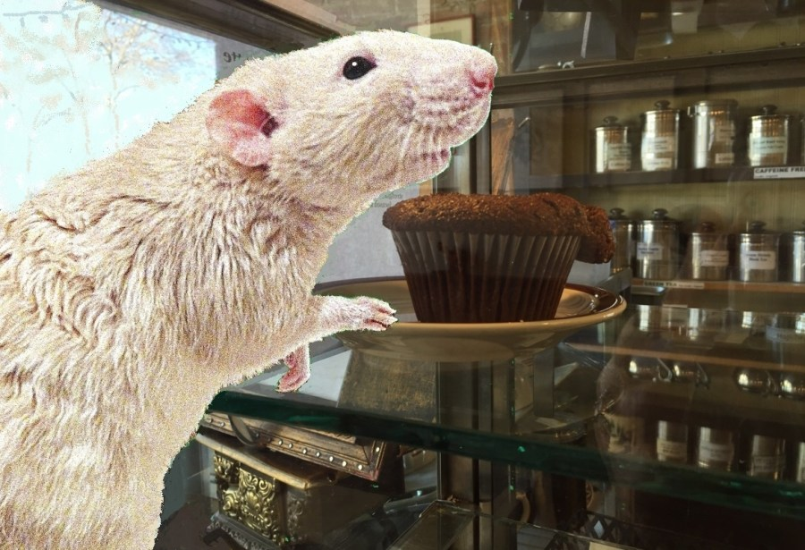 about pet rats, pet rats, pet rat, rats, rat, fancy rats, fancy rat, ratties, rattie, pet rat care, pet rat info