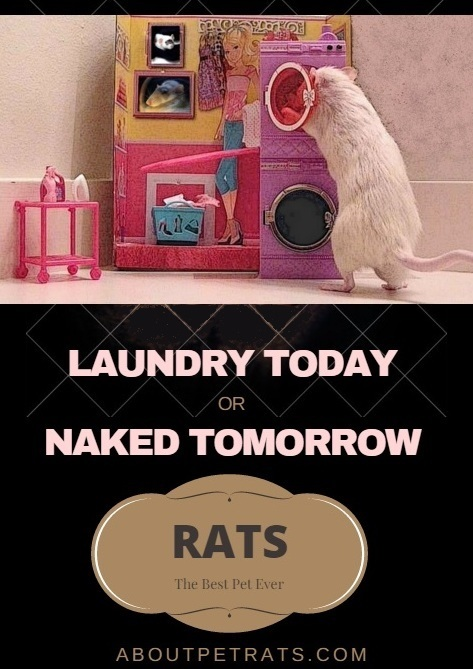 about pet rats, pet rats, pet rat, rats, rat, fancy rats, fancy rat, ratties, rattie, pet rat care, pet rat info, pet rat information, pet rat humor, pet rat tricks